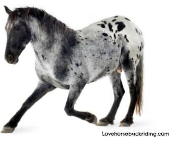 Enjoy these Appaloosa Horse Pictures
