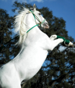 horse tricks-rearing