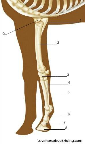 Equine Forelimb Anatomy General Terms Skeletal Structure And Muscles