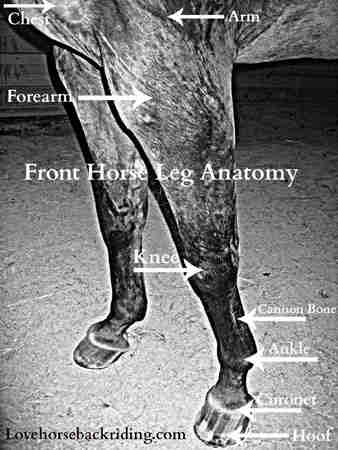 Horse Leg Anatomy Front And Rear Leg Anatomy