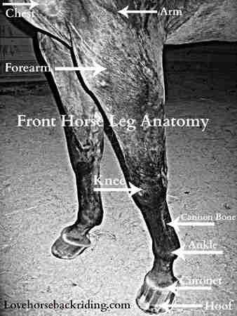Horse Leg Anatomy - Front and Rear Leg Anatomy