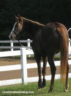 horsetenneseewalker