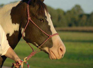 horse training halter