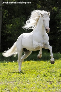 Rare Albino Horses Many horses have truly white