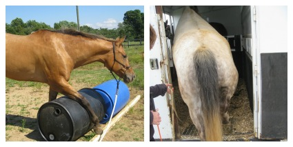 horse trailer loading